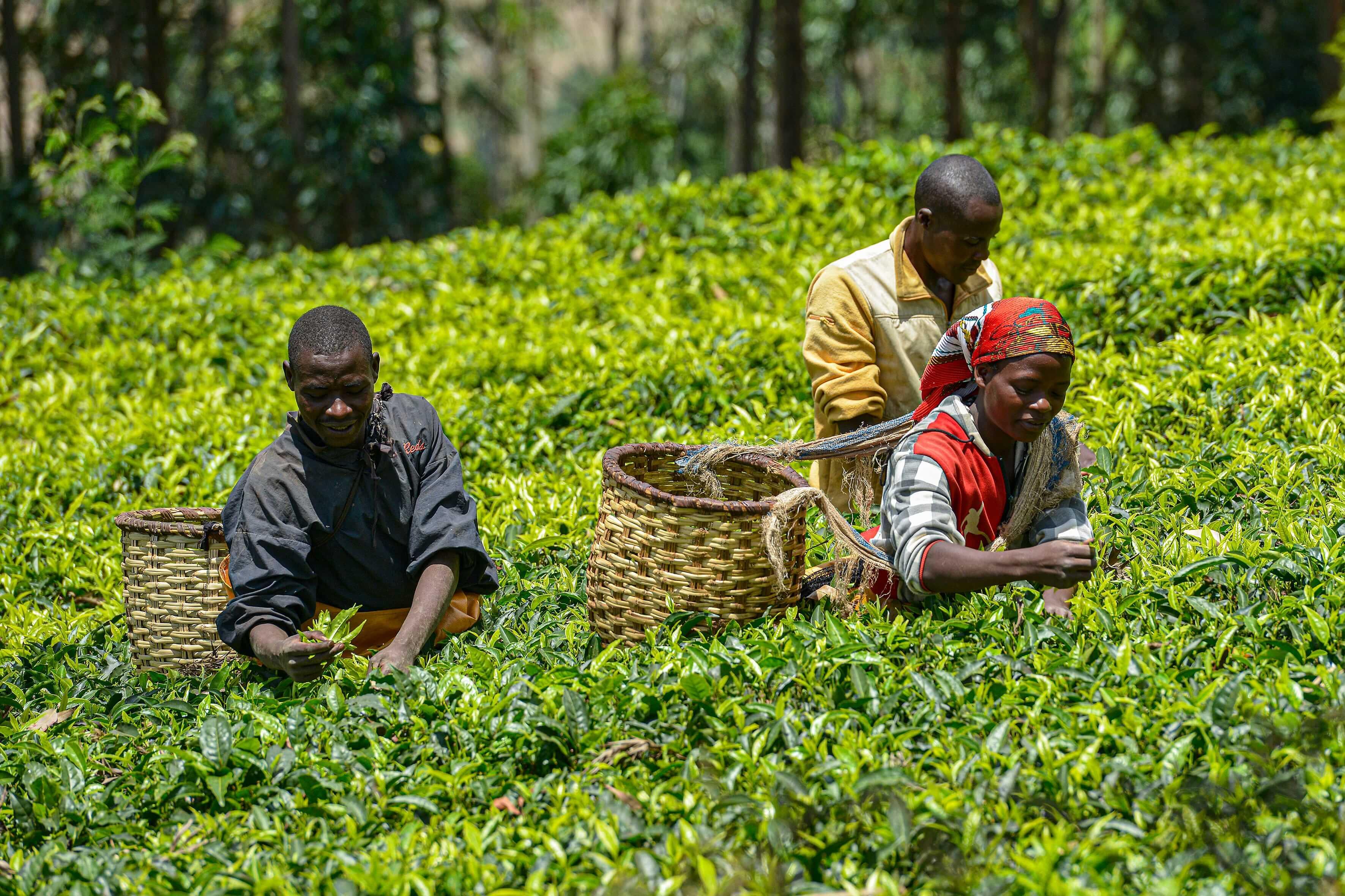A group of tea pickers at work in a tea plantation in Gicumbi, Rwanda (Photo: Shutterstock)